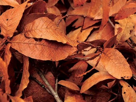 Brown leaves by Jrsnchzrs