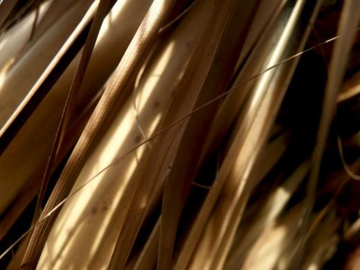 Dry Palm Tree Leaf