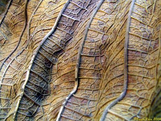Folha Seca Dry Leaf