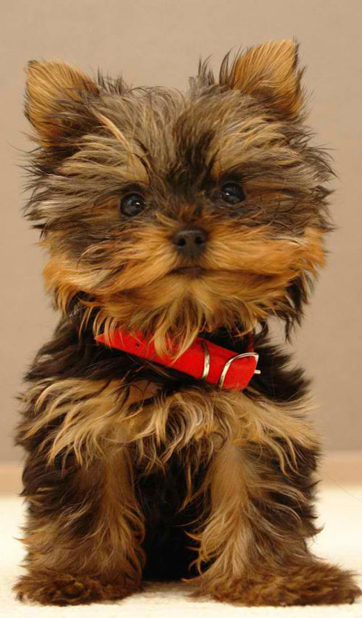Cute Puppy Picture For IPhone 5